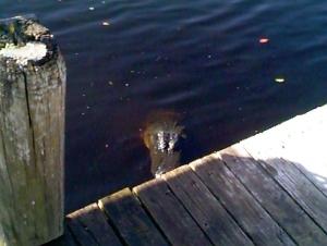 Alligators like free food